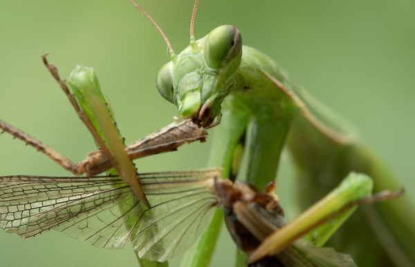 Praying mantis eating