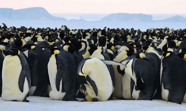 colony of the Antarctic penguin