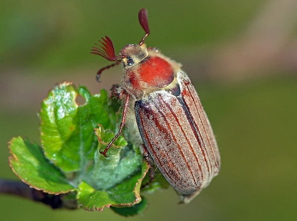 Eastern June Bug
