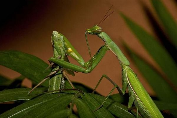 Praying mantis eating mate
