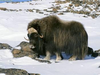 Мускусний бик