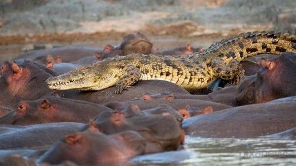 бегемот та крокодил