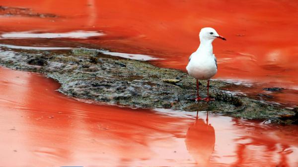 червоний приплив