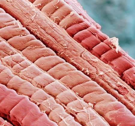 м'язи у мікроскоп