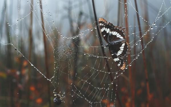 бабочка в паутине