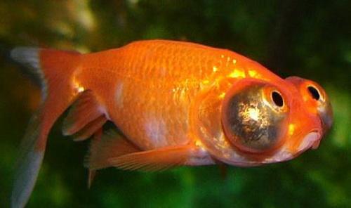 Рибка Небесне око
