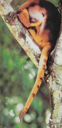 Деревний кенгуру