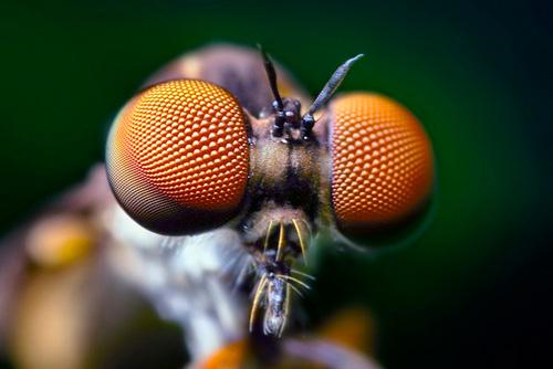 око мухи