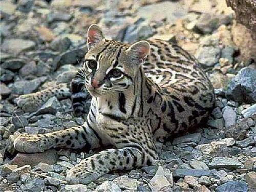 іріомотська кішка