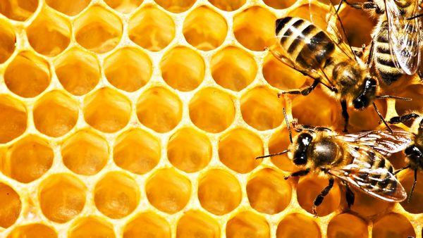 бджолині соти