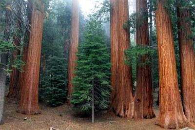 мамонтовы деревья