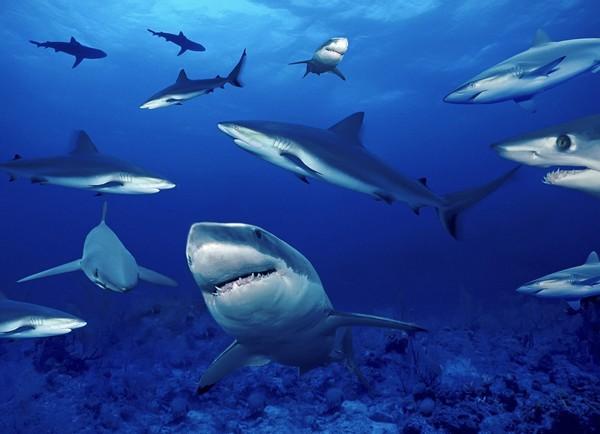 зграя акул