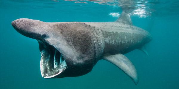 велетенська акула цеторінус максимус