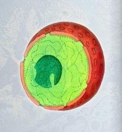 Ядро клітини