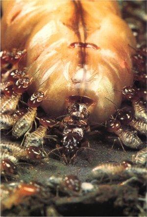 Цариця термітів