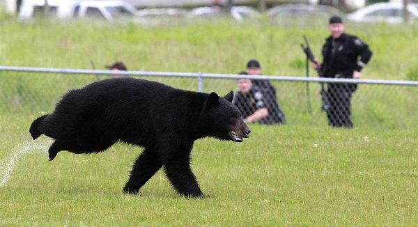 ведмідь барібал