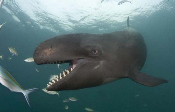 зубатий кит