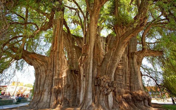 саме старе дерево