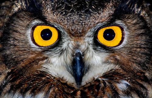 очі сови