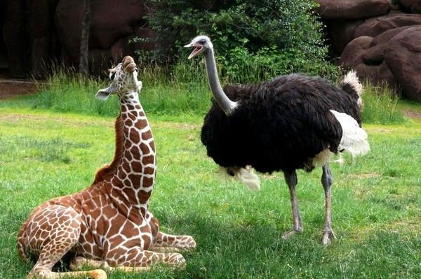 страус и жираф