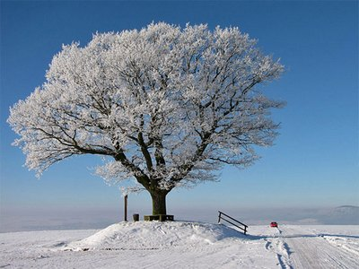дерево зимою