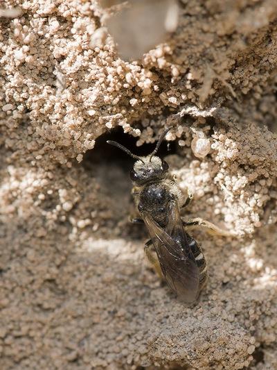 бджола галікта