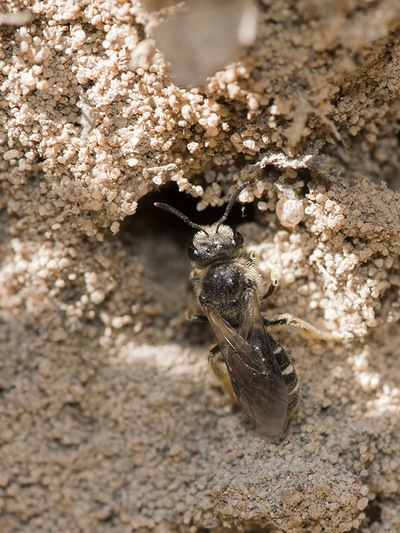 пчела галикта