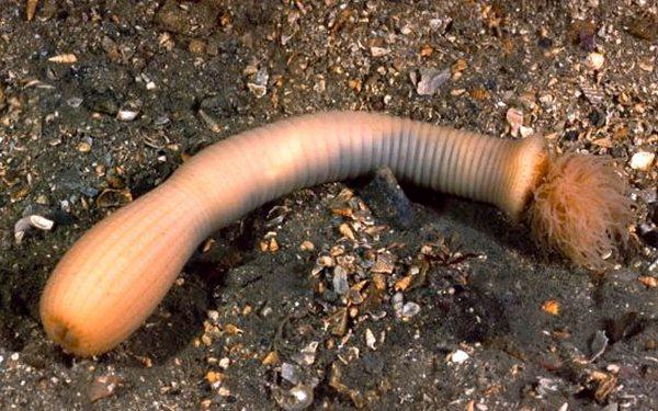Морские черви приапулиды