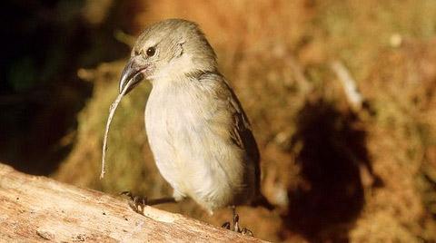 галапагосский дятловый вьюрок