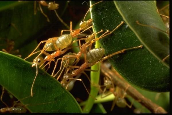 тропические муравьи-портные