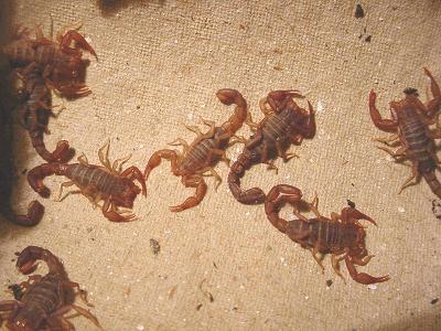 маленькі скорпіони