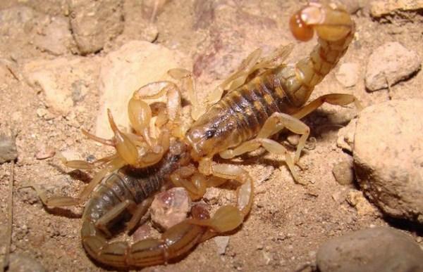 скорпіони у шлюбний період