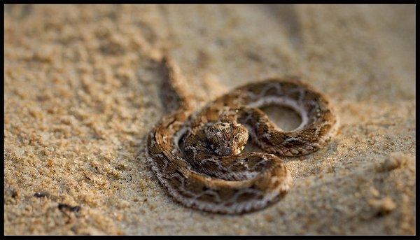 Эфа песчаная