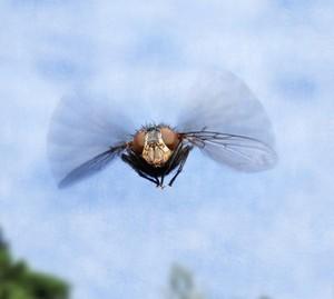 політ мухи