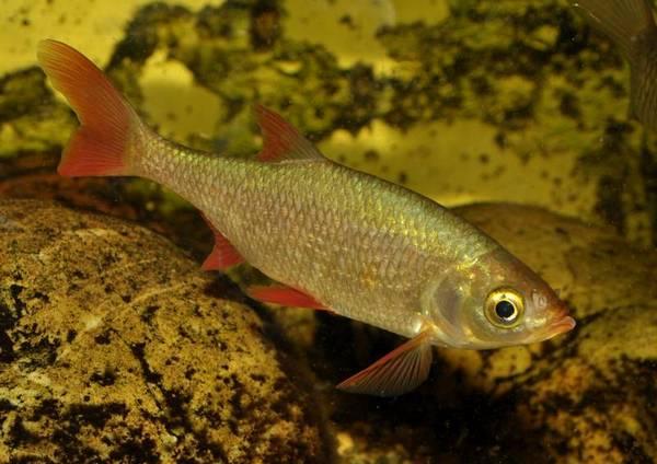 Красноперка Scardinius acarnanicus