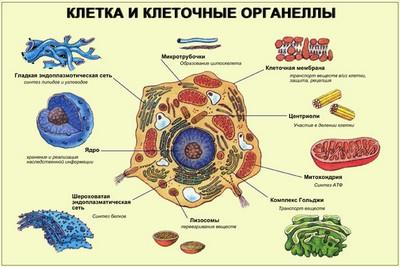 Органели клітини