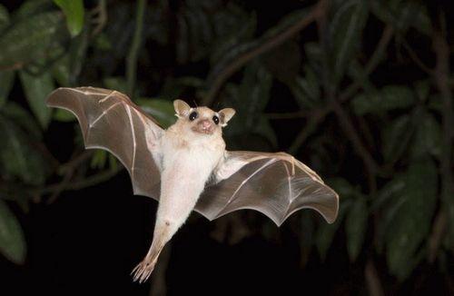 летучая мышь в полете
