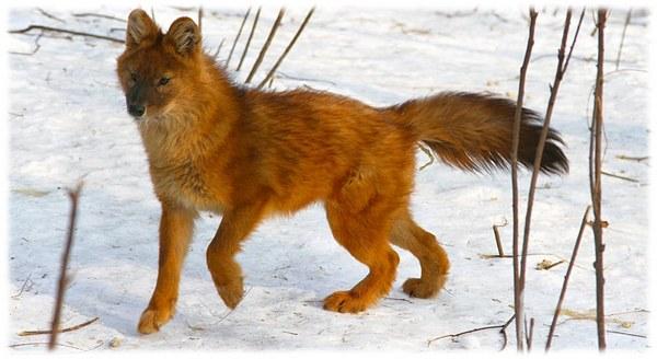 Рудий вовк