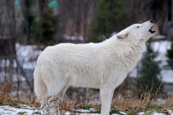 Тундровий вовк