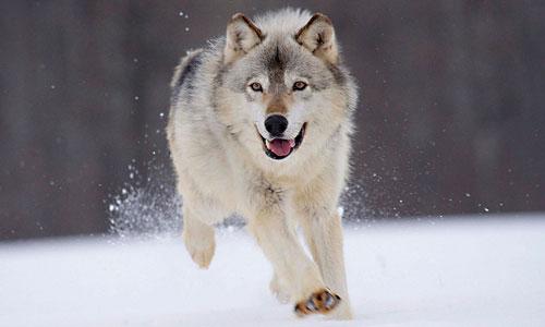 вовк біжить