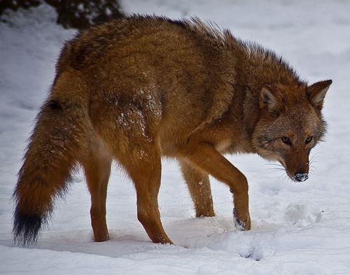 Східний вовк