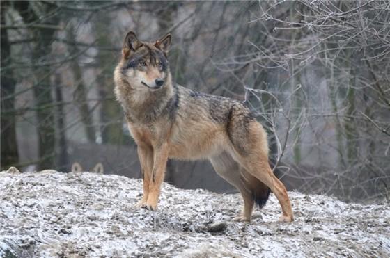 сірий вовк