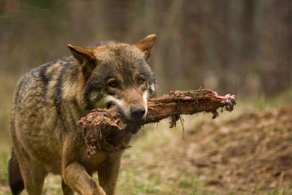 волк с добычей