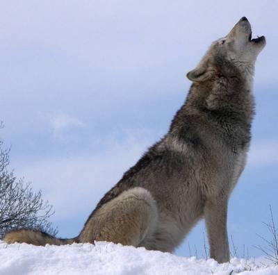 вовк виє