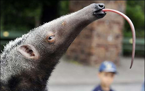 язик мурахоїда