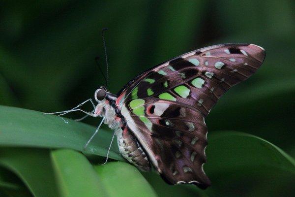 сплячий метелик