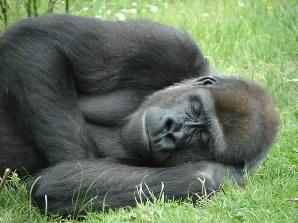 спящая горилла