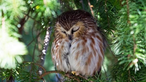 сплячий птах