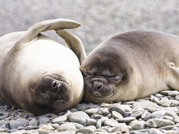 спящие тюлени