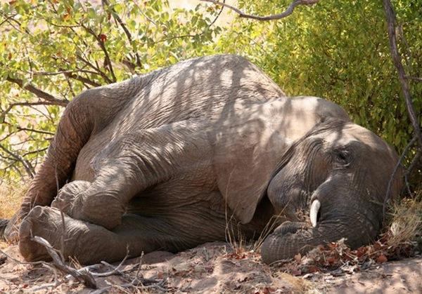 сплячий слон